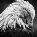 Birds Of Bc - No.30 - Bald Eagle - Keeping Clean by Paul W Sharpe Aka Wizard of Wonders