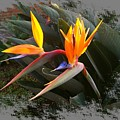 Birds Of Paradise by Max DeBeeson