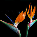 Birds Of Paradise by Terence Davis