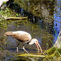 Birds Of The Everglades by Charlene Cox