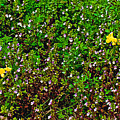 Birdsfoot Trefoil Surrounded By Tiny Bright Eyes In Campground In Saginaw-minnesota by Ruth Hager