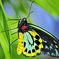 Birdwing Butterfly by Bill Dodsworth