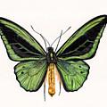 Birdwing Butterfly by Rachel Pedder-Smith