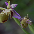 Bishops Or Heldreichs Orchid by Paul Cowan