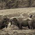 Bison 1 - Pano by Joye Ardyn Durham