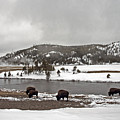 Bison Along The Firehole River by Cindy Murphy - NightVisions