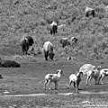 Bison And Bighorn Spring Picnic Black And White by Adam Jewell