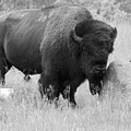 Bison And Buffalo by Mary Mikawoz