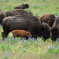 Bison And Lupine by Whispering Peaks Photography