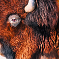 Bison by Anna Louise
