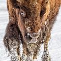 Bison Approaching  8163 by Karen Celella