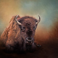 Bison At Rest by David and Carol Kelly