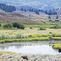 Bison At Slough Creek by Carolyn Fox