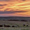 Bison At Sunrise by Rob Graham