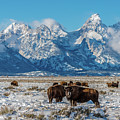 Bison At The Tetons by Yeates Photography