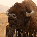Bison Bellowing At The Sky by Max Allen