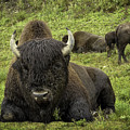 Bison Bliss by Teresa A and Preston S Cole Photography