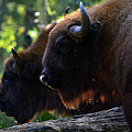 Bison Brothers by Spade Photo