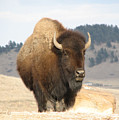 Bison Bull by Marion Muhm