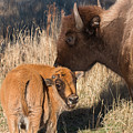 Bison Calf And Its Mother by Tony Hake
