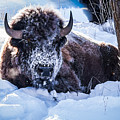 Bison At Frozen Dawn by Yeates Photography