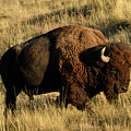 Bison  by Cindy Murphy - NightVisions