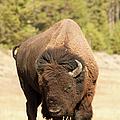 Bison by Corinna Stoeffl, Stoeffl Photography