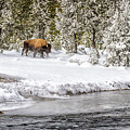 Bison Country  8101 by Karen Celella