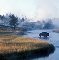 Bison Crosses The Firehole River by Michael S. Lewis