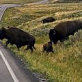 Bison Disrupting Traffic by Sally Weigand