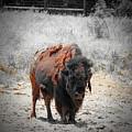 Bison  by Douglas Barnard
