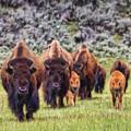 Bison - Dwp15818951 by Dean Wittle