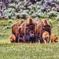 Bison - Dwp15818952 by Dean Wittle