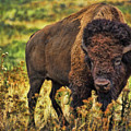 Bison-dwp526805 by Dean Wittle