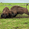 Bison Fighting by Cindy Murphy - NightVisions