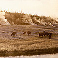Bison Firehole River Yellowstone by Panoramic Images
