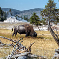 Bison Grazing Near Castle Geyser Yellowstone National Park by NaturesPix