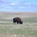 Bison by Hazel Rice