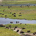 Bison Herd And Yellowstone River by Steve Aserkoff