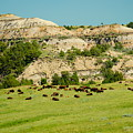 Bison Herd by Beth Collins