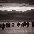 Bison Herd Into The Sunset - Bw by Chris Bordeleau