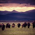 Bison Herd Into The Sunset by Chris Bordeleau
