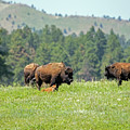 Bison Herd by Ira Marcus