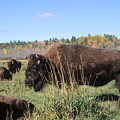 Bison Home On The Range by Larry Allan