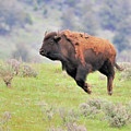 Bison In Flight by John R Young Jr