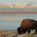 Bison In Front Of Snowy Mountains by Mathew Levine