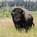 Bison In Grass by Steve Aserkoff