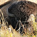 Bison In Hiding by Larry Ricker