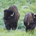 Bison In Love Iv by Steve Aserkoff