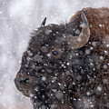 Bison In Snow by Philip Rodgers